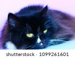 black cat laying on pink tender ... | Shutterstock . vector #1099261601