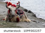 the yak with big horns and a...
