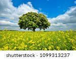 field of rapeseed and solitary... | Shutterstock . vector #1099313237
