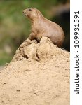 cute little prairie dog in characteristic posture on sandy hill - stock photo