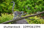 the ring tailed lemur  lemur... | Shutterstock . vector #1099361594