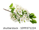 Branch With Pear Flowers...