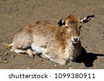 Small photo of Portrait of lying female allow deer (dama, dama). Photography of nature and wildlife.