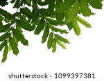 tree branch isolated | Shutterstock . vector #1099397381