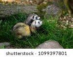 portrait of domestic ferrets in ... | Shutterstock . vector #1099397801
