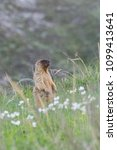 Small photo of Wild animal - marmot in grass