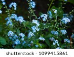 forget me not flowers | Shutterstock . vector #1099415861
