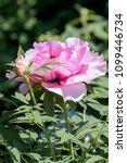 moutan tree peony  paeonia... | Shutterstock . vector #1099446734