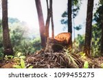 stumps in the forest or trees... | Shutterstock . vector #1099455275