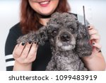 grooming a little poodle in a... | Shutterstock . vector #1099483919