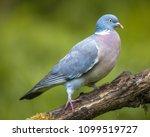 Wood Pigeon  Columba Palumbus ...