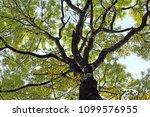 mahogany tree canopy with...   Shutterstock . vector #1099576955