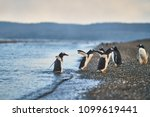 Small photo of The colony of penguins on the island in the Beagle Canal. Argentine Patagonia. Ushuaia