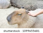 petting a capybara with eyes... | Shutterstock . vector #1099655681