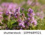 thymus vulgaris known as common ... | Shutterstock . vector #1099689521