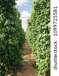Small photo of Pepper field at Phu Quoc, Viet Nam, group of pepper plant in green, this farm product is export product from Vietnam to Asia, vegetable growing in bush, and plant in many aea as Binh Phuoc, Daklak