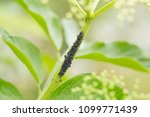 a bunch of aphids on a thin... | Shutterstock . vector #1099771439