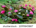 beautyful lily lflowers on the... | Shutterstock . vector #1099845887