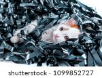 kitten redhead entangled in a... | Shutterstock . vector #1099852727
