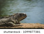 big iguana laying in the park... | Shutterstock . vector #1099877381