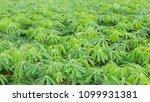 cassava farm is growing ... | Shutterstock . vector #1099931381