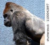 gorillas are ground dwelling ... | Shutterstock . vector #1100042897