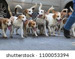 city walk with a pack of beagle ... | Shutterstock . vector #1100053394
