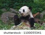 giant panda eating bamboo | Shutterstock . vector #1100055341