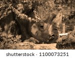 the white rhinoceros or square...   Shutterstock . vector #1100073251