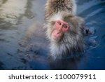 japanese snow monkeys relaxing ... | Shutterstock . vector #1100079911