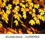 Brilliantly lit yellow maple leaves, backlighted in evening sunlight - stock photo