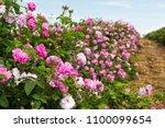 Stock photo bulgarian rose valley near kazanlak rose damascena fields 1100099654
