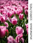 beautiful colorful pink tulips... | Shutterstock . vector #1100117651