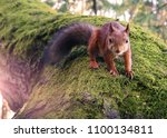 Small photo of Squirrel (Sciurus) going towards on the tree in the forest