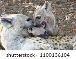 female of spotted hyaena with... | Shutterstock . vector #1100136104