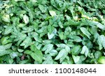tropical tree background. | Shutterstock . vector #1100148044