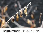 Small photo of Nest of butterfly larvae, remains of pupa on dry branches, insect in its inactive immature form between larva and adult, the miracle of insects