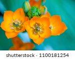 A Bright Orange Ornithogalum...