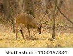 White Tailed Deer In Minnesota...