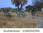 zebras in selous game reserve ... | Shutterstock . vector #1100242544