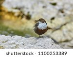 the white throated dipper ... | Shutterstock . vector #1100253389
