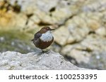 the white throated dipper ... | Shutterstock . vector #1100253395