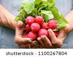 bunch of radish in the hand... | Shutterstock . vector #1100267804