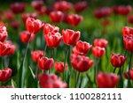 red tulip flowers. tulip buds.... | Shutterstock . vector #1100282111