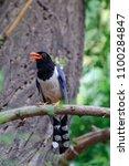 Red Billed Bluebird On Tree