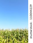 A Maize Field Is In The Summer...