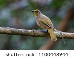 stripe throated bulbul | Shutterstock . vector #1100448944
