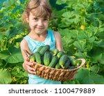 homemade cucumber cultivation...   Shutterstock . vector #1100479889