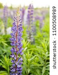 lupine field with pink purple... | Shutterstock . vector #1100508989