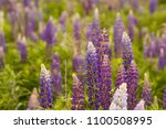 lupine field with pink purple... | Shutterstock . vector #1100508995